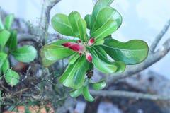 Desert rose flower in garden Royalty Free Stock Images