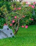 Desert rose flower in garden. Royalty Free Stock Photo