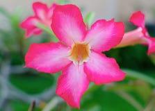 Desert rose flower in garden. Stock Photography