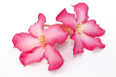 Desert rose flower isolated Royalty Free Stock Photo