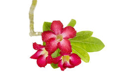 Desert rose flower isolation Royalty Free Stock Photography