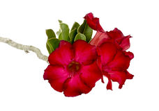 Desert rose flower isolation Stock Photo