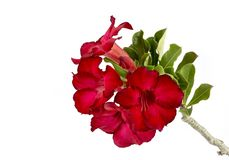 Desert rose flower isolation Stock Photography