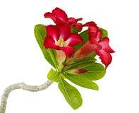 Desert rose flower isolation Royalty Free Stock Photo