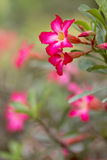 Desert rose flower Royalty Free Stock Images