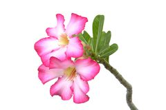 Desert Rose Flower on white ground. Desert Rose Flower in thailand on white ground Royalty Free Stock Image