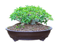 Desert Rose in a flowerpot with clipping path Stock Photos