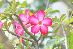 Desert Rose Flowers Stock Images