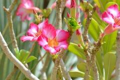 Desert Rose. Flowers of Desert Rose, Adenium obesum, in garden Stock Photo