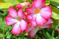 Desert Rose. Flowers of Desert Rose, Adenium obesum, in garden Royalty Free Stock Photography