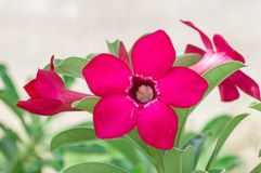 Desert Rose flowers Stock Photos
