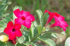 Desert Rose flowers Stock Photo