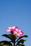 Desert Rose flowers blue background Stock Image