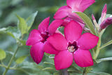 Desert Rose Flowers. Pink color Royalty Free Stock Images