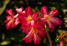 Desert rose in the garden Royalty Free Stock Photography