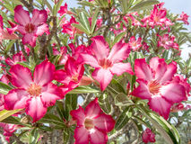 The Desert Rose Stock Photography