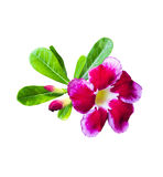 Desert rose with green leaf Stock Images