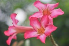 Desert rose or impala lily. Closeup of pink desert roses or impala lily Stock Photos