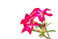 Desert rose, Impala Lily Royalty Free Stock Photography