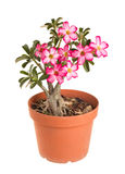 Desert Rose Impala Lily Mock Azalea Royalty Free Stock Photography