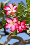 Desert Rose; Impala Lily; Mock Azalea. Adenium arabicum Desert Rose; Impala Lily; Mock Azalea Royalty Free Stock Photos