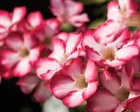 Desert Rose or Impala Lily or Mock Azalea Background Stock Photo