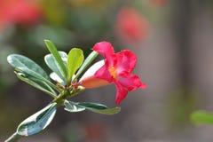 Desert rose. Impala Lily-Mock Azalea Beautiful flowers  nature background Royalty Free Stock Photos