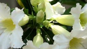 Desert Rose, Impala Lily, Mock Azalea Beautiful White flowers. Backgrounds stock video