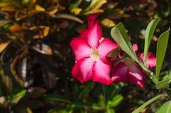 Desert Rose or Impala Lily or Mock Azalea flower Stock Image