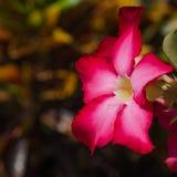 Desert Rose or Impala Lily or Mock Azalea flower Stock Images
