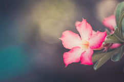 Desert Rose or Impala Lily or Mock Azalea flower vintage Stock Photography