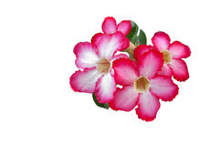Desert Rose; Impala Lily; Mock Azalea. Isolate of flower Desert rose Stock Photo