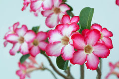 Desert Rose; Impala Lily; Mock Azalea. Desert rose is multi-color flower Stock Photo