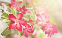 Desert Rose, Impala Lily, Mock Azalea pink flower Royalty Free Stock Image