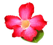 Desert Rose-Impala Lily- Mock Azalea Pink flowers Stock Photo