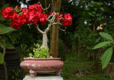 Desert Rose, Impala Lily, Mock Azalea tree or Adenium obesum Stock Photo