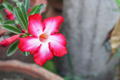Desert Rose or Impala Lily  Tropical flower on a tree Stock Image
