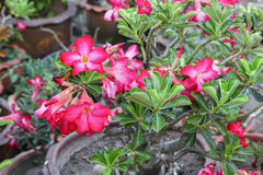 Desert Rose or Impala Lily  Tropical flower on a tree Stock Photography