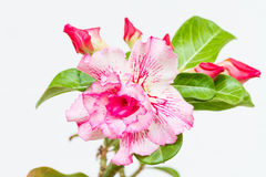 Desert rose or Impala lily Stock Photography