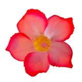 Desert rose isolated on white background Royalty Free Stock Photography