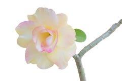 Desert rose Royalty Free Stock Photos