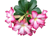 Desert Rose isolated on white background Royalty Free Stock Photos
