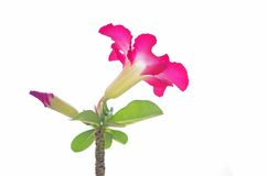 Desert rose isolation Stock Photography