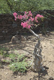Desert Rose in Kenya. Royalty Free Stock Images