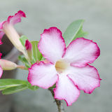 Desert rose in nature Royalty Free Stock Photo