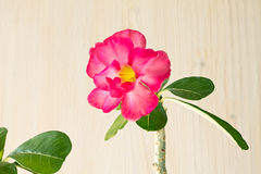 Desert rose Stock Images
