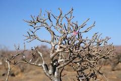 Desert Rose, Oman. Blossoming Desert Rose in Dhofar mountains, Sultanate of Oman Stock Image