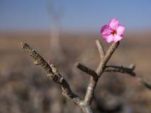 Desert Rose, Oman. Blossoming Desert Rose in Dhofar mountains, Sultanate of Oman Royalty Free Stock Images