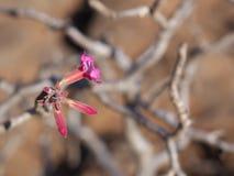 Desert Rose, Oman. Blossoming Desert Rose in Jebel Samhan, Oman Stock Image