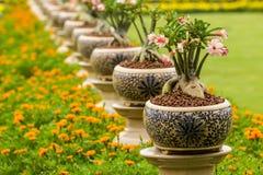 Desert rose. Or Ping Bignonia in pots ceramic Stock Images